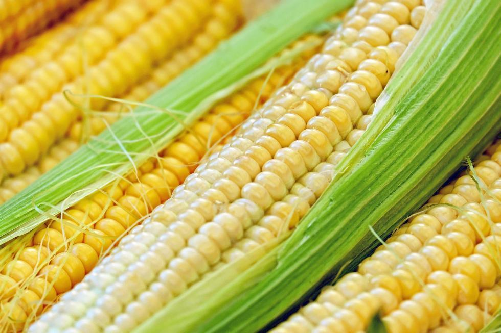 Uprawa kukurydzy wPolsce