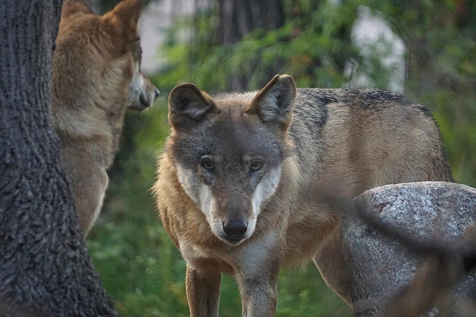 Dzień wilka wewrocławskim zoo